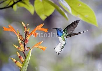 White-necked Jacobin (Florisuga mellivora) hummingbird male feeding on nectar of Canna (Canna sp) fl