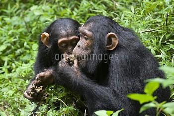 Chimpanzee (Pan troglodytes) juvenile and infant feeding on African Grape (Pseudospondias microcarpa