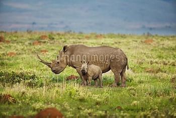 White Rhinoceros (Ceratotherium simum) mother and calf, Kwazulu Natal, South Africa
