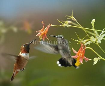 Rufous Hummingbird (Selasphorus rufus) male and Black-chinned Hummingbird (Archilochus alexandri) fe