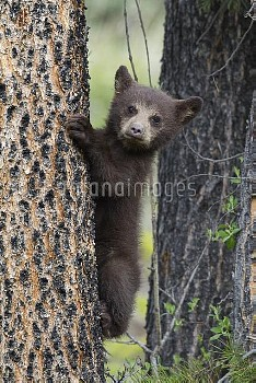 Black Bear (Ursus americanus) cub in tree, Jasper National Park, Alberta, Canada