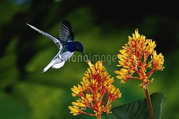 White-necked Jacobin (Florisuga mellivora) hummingbird male feeding on Firebush (Hamelia patens) ora