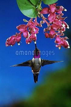 Magenta-throated Woodstar (Calliphlox bryantae) hummingbird male feeding on epiphytic Heath (Cavendi