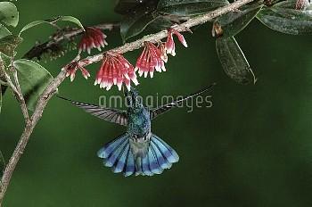 Green Violet-ear (Colibri thalassinus) hummingbird feeding on nectar of flowers (Satyria warszewiczi