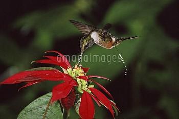 Magenta-throated Woodstar (Calliphlox bryantae) hummingbird male feeding at and pollinating Poinsett