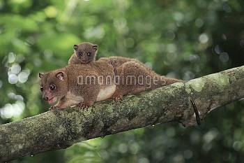 Dwarf Cuscus (Strigocuscus celebensis) mother and young in the rainforest, Tangkoko-Dua Saudara Natu