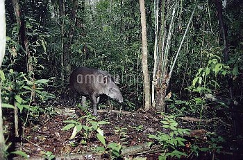 Brazilian Tapir (Tapirus terrestris) in the rainforest, Peru