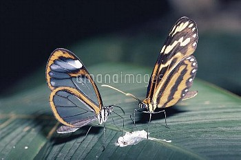 Nymphalid Butterfly (Hypothyris sp) and Nymphalid Butterfly (Heterosais sp) feeding at bird dropping