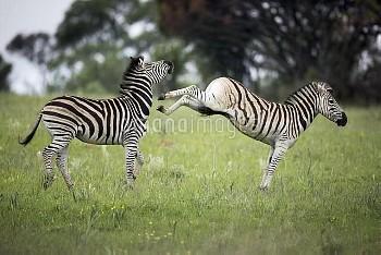 Burchell's Zebra (Equus burchellii) males fighting, Rietvlei Nature Reserve, Gauteng, South Africa