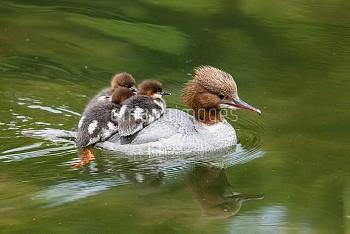 Common Merganser (Mergus merganser) mother carrying chicks on water, Upper Bavaria, Germany