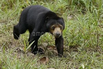 Sun Bear (Helarctos malayanus) juvenile, Matang Wildlife Centre, Kubah National Park, Borneo, Malays