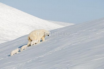 Polar Bear (Ursus maritimus) mother and cubs in snow, Wrangel Island, Russia