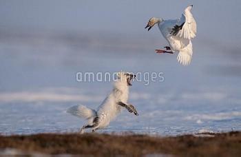 Arctic Fox (Alopex lagopus) chasing Snow Goose (Chen caerulesens) off its nest, Wrangel Island, Russ
