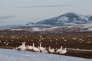 Snow Goose (Chen caerulescens) flock on snowy tundra, Wrangel Island, Russia