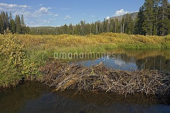 American Beaver (Castor canadensis) dam, Yellowstone National Park, Wyoming