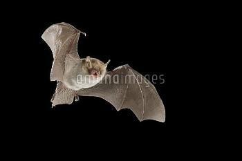Natterer's Bat (Myotis nattereri), Belgium