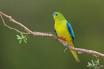 Orange-bellied Parrot (Neophema chrysogaster), Tasmania, Australia