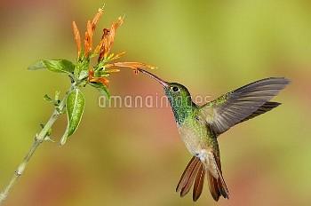 Buff-bellied Hummingbird (Amazilia yucatanensis) male feeding on nectar, Texas