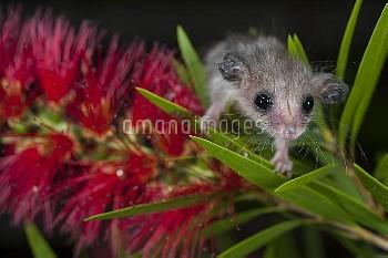 Western Pygmy Possum (Cercartetus concinnus) on flower, Western Australia, Australia
