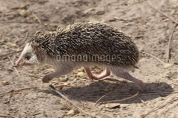 Four-toed Hedgehog (Atelerix albiventris) running, Toubacouta, Senegal