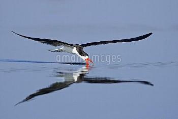 African Skimmer (Rynchops flavirostris) skimming, Chobe River National Park, Botswana