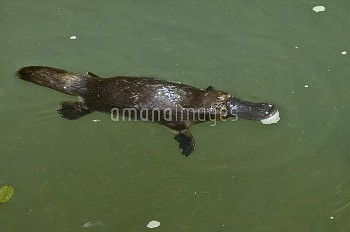 Platypus (Ornithorhynchus anatinus) grinding prey between plates of its bill, Atherton Tableland, Qu
