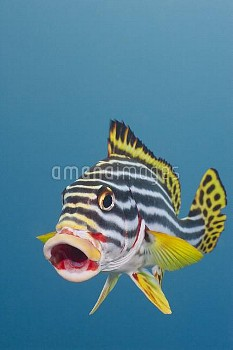 Indian Ocean Oriental Sweetlips (Plectorhinchus vittatus) in defensive posture, Bali, Indonesia
