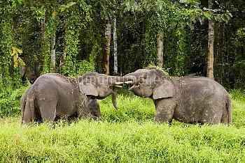 Borneo Pygmy Elephant (Elephas maximus borneensis) males play-fighting, Kinabatangan River, Sabah, B