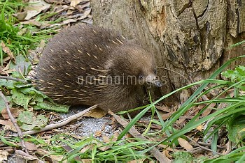 Short-beaked Echidna (Tachyglossus aculeatus) foraging for insects, Tasmania, Australia