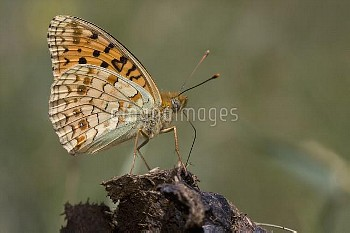 Niobe Fritillary (Argynnis niobe) butterfly feeding on dung, Torla, Spain