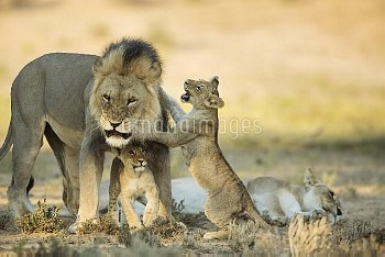 African Lion (Panthera leo) male and resting female with playful cubs, Kgalagadi Transfrontier Park,