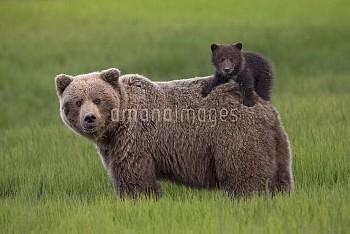 Grizzly Bear (Ursus arctos horribilis) cub on mother's back, Lake Clark National Park, Alaska