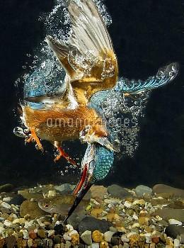 Common Kingfisher (Alcedo atthis) catching fish, Nunspeet, Netherlands
