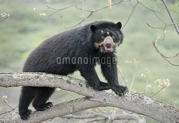 Spectacled Bear (Tremarctos ornatus) female, Chaparri Reserve, Lambayeque Province, Peru