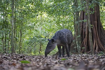 Baird's Tapir (Tapirus bairdii) foraging on the forest floor, Corcovado National Park in Costa Rica