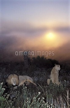 African Lion (Panthera leo) male and female at sunset, Africa