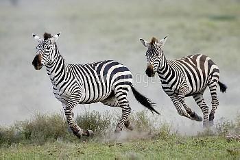 Zebra (Equus quagga)pair running, Serengeti National Park, Tanzania