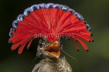 Royal Flycatcher (Onychorhynchus coronatus) male in defensive posture, Guyana