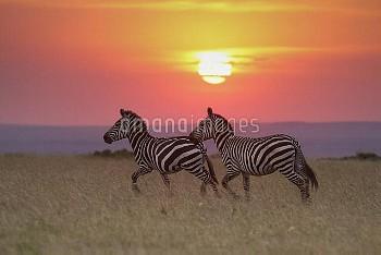 Zebra (Equus quagga) pair at sunrise, Masai Mara, Kenya