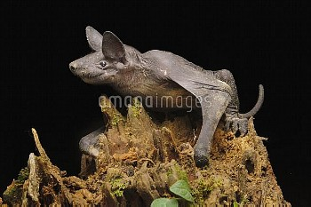 Hairless Bat (Cheiromeles torquatus), the heaviest insectivorous bat in the world, Tibu, Batang Ai N