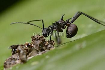 Ant (Polyrhachis armata) feeding on nutrients in bird dung, Nanga Sumpa, Batang Ai National Park, Ma