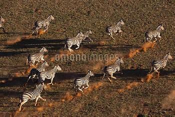 Burchell's Zebra (Equus burchellii) herd running in desert, NamibRand Nature Reserve, Namibia