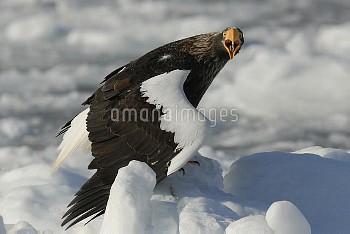 Steller's Sea Eagle (Haliaeetus pelagicus) in defensive posture on ice, Hokkaido, Japan