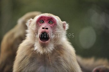 Assam Macaque (Macaca assamensis) in threat display, Assam, India