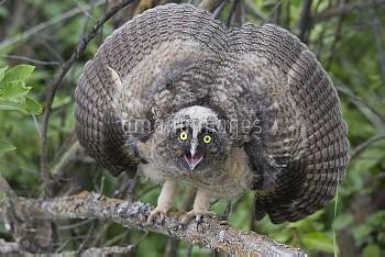 Long-eared Owl (Asio otus) owlet in defensive posture, western Montana