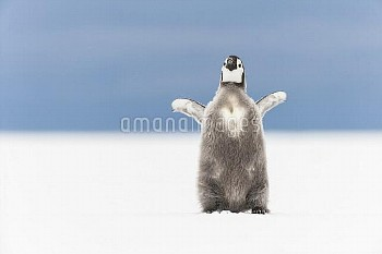 Emperor Penguin (Aptenodytes forsteri) chick stretching, Queen Maud Land, Antarctica