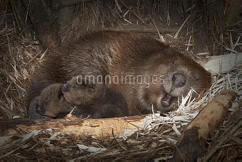 European Beaver (Castor fiber) with two newborn babies inside lodge, Germany