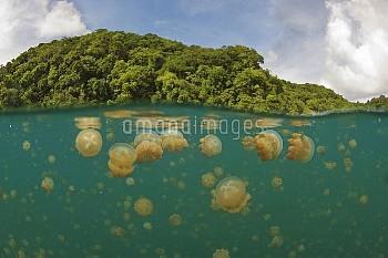 Papuan Jellyfish (Mastigias papua) group in lake, Jellyfish Lake, Palau