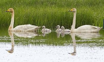 Whooper Swan (Cygnus cygnus) family, Iceland