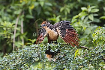 Hoatzin (Opisthocomus hoazin) displaying during courtship, Panguana Nature Reserve, Peru